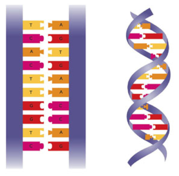 Dna The Double Helix Worksheet Pixelpaperskin – Dna the Double Helix Worksheet