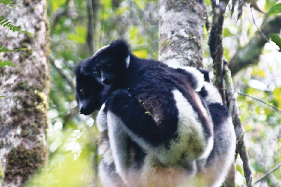 Madagascar-Indri-lemurs-in-Voi-Mma-rainforest-supported-by-local-people-Andasibe-1211-by-TaSin-Sabir, Wanda's Picks for January 2012, Culture Currents