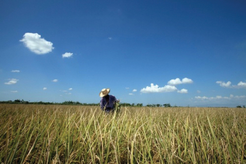 Haiti_rice_farming, Signs of the times in Haiti: The military, money and meaning of an occupation, World News & Views