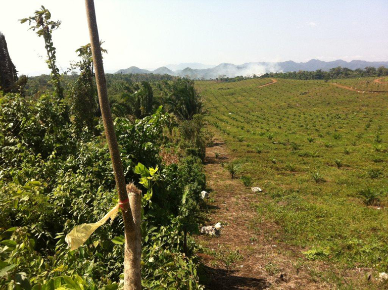 Palm oil plantation on Belize-Guatamala border 040613