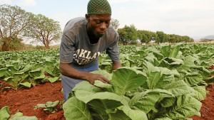 A young tobacco farmer tends his crop near Shamva, Zimbabwe. – Photo: Aaron Ufumeli, Mail & Guardian