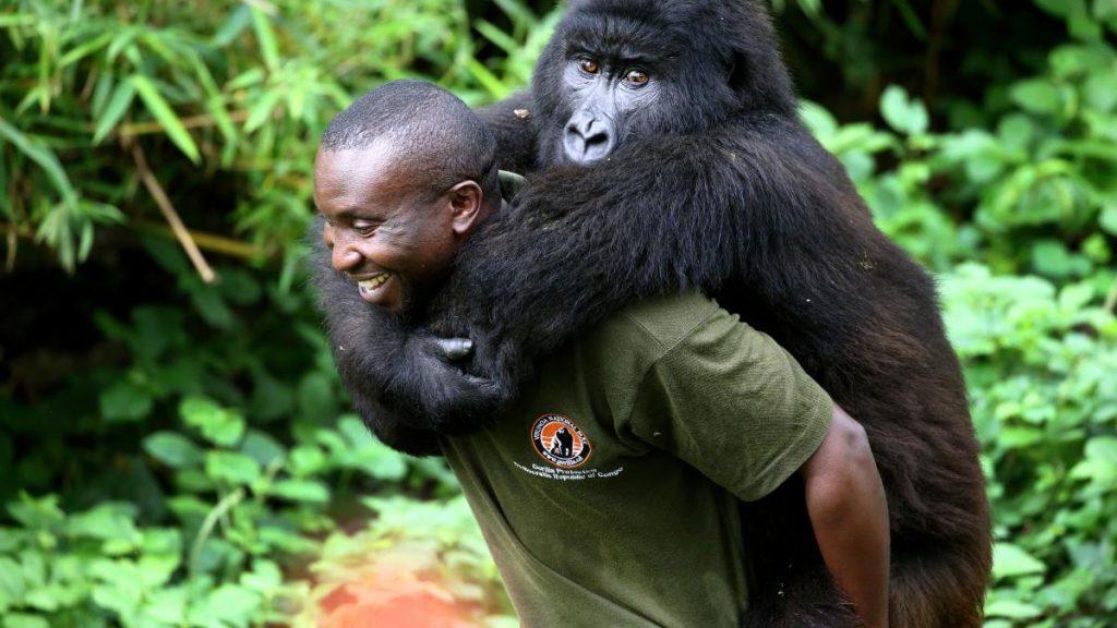 Virunga-National-Park-Congolese-Ranger-Andre-Baum's-job-is-gorilla-caretaker-1, DRC's Virunga: Park, gorillas and rangers all under attack, World News & Views